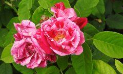 Rose ´Ferdinand Pichard´