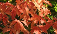 Zimtahorn Herbstfärbung